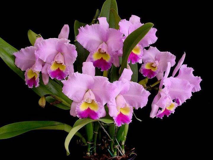 Cattleyas Cattleya Orchid Beautiful Flowers Pretty Flowers