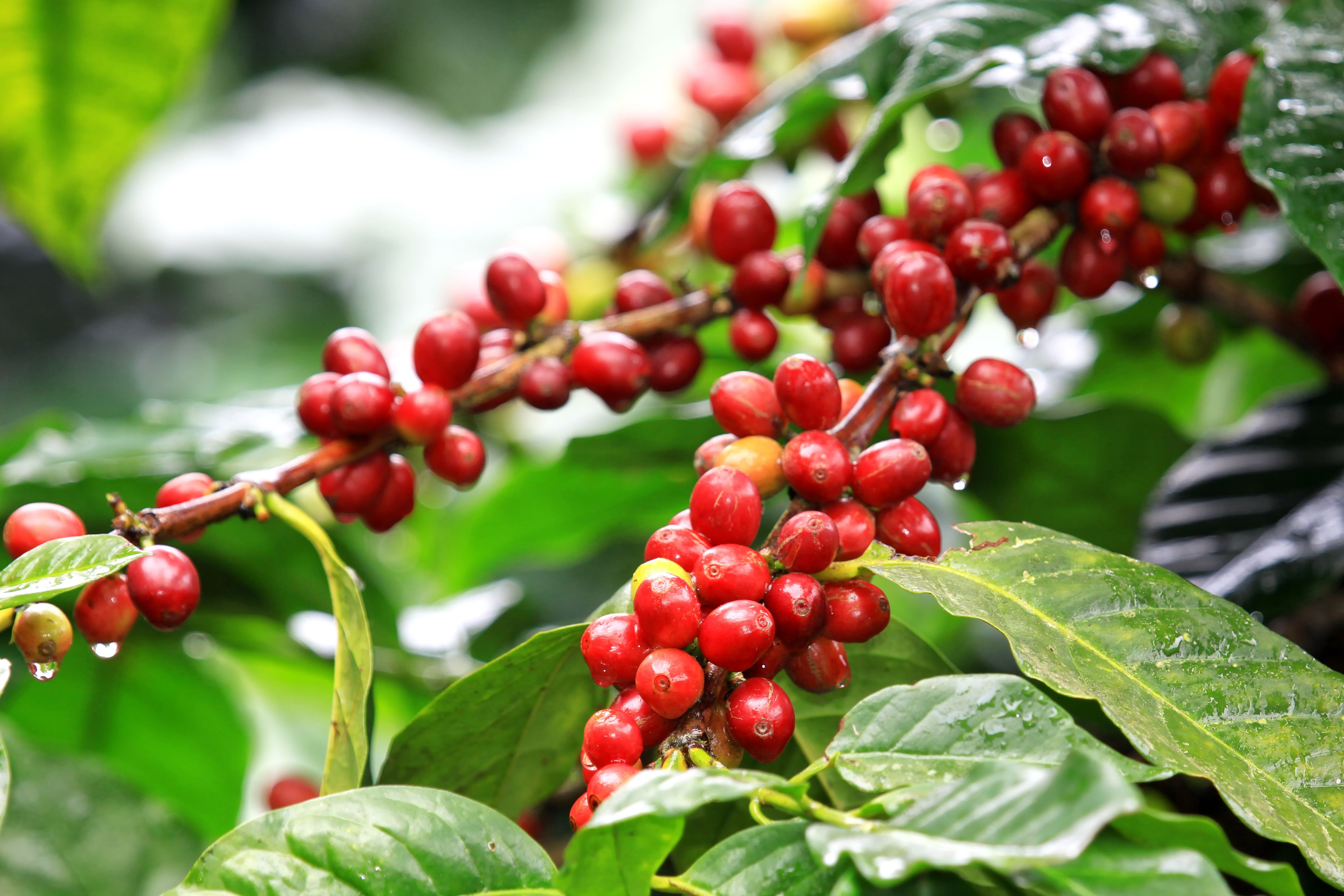 Tea Of The World Coffee Plant Coffee Smoothies Coffea Arabica