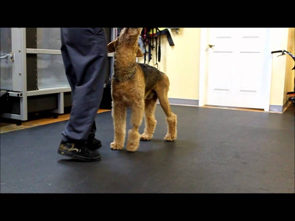 (Home care exercises) Sit to stands Exercise, Dog