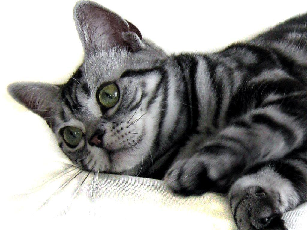 American Shorthair Kitten Playing American Shorthair Cat American Shorthair American Shorthair Kitten