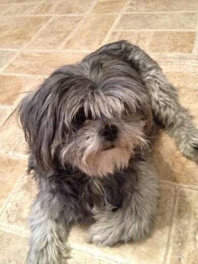 Available For Adoption Pearl Is A Female Shih Tzu Mix Located