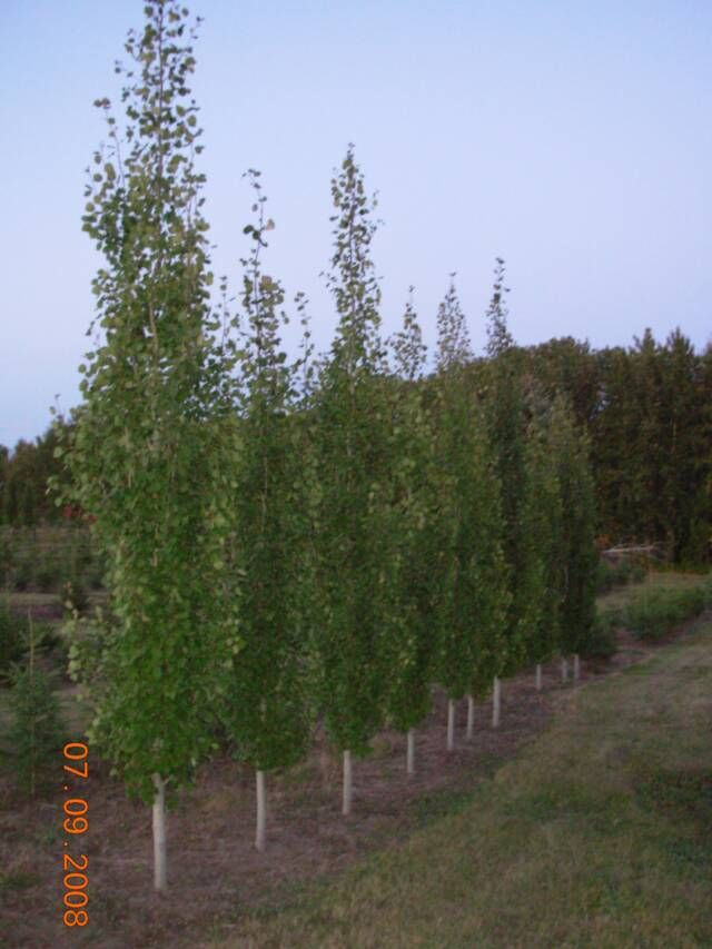 Aspen swedish columnar populus tremula ht 12m sp for Skinny trees for tight spaces