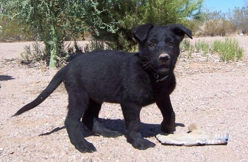 8 Week Old Black German Shepherd Puppy Black German Shepherd