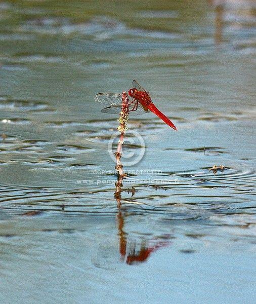 libellule écarlate, crocothemis erythraea, libellulidés