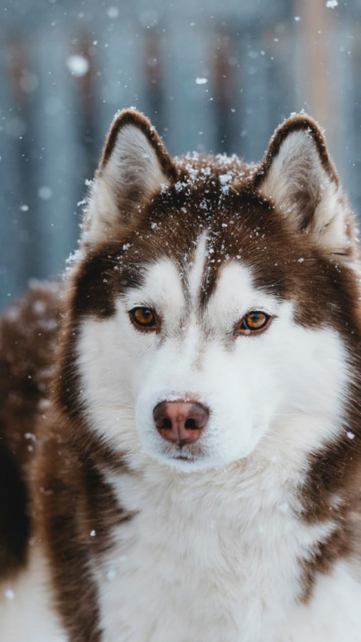 Dogs Wallpaper Tumblr In 2020 Siberian Husky Dog Red Husky Husky Puppy