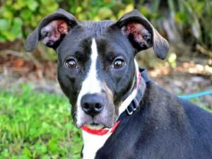 Pet Of The Week Peggy Adams Animal Rescue League Victoria Is An Adoptable Whippet Dog In West Palm Beach Fl Victor Animal Rescue League Animals Whippet Dog