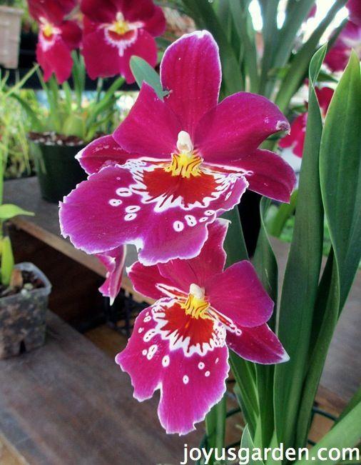 Santa Barbara Orchid Fair