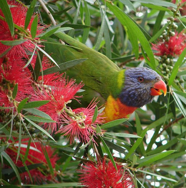 Red bottlebrush and Rainbow Lorikeet #Australia