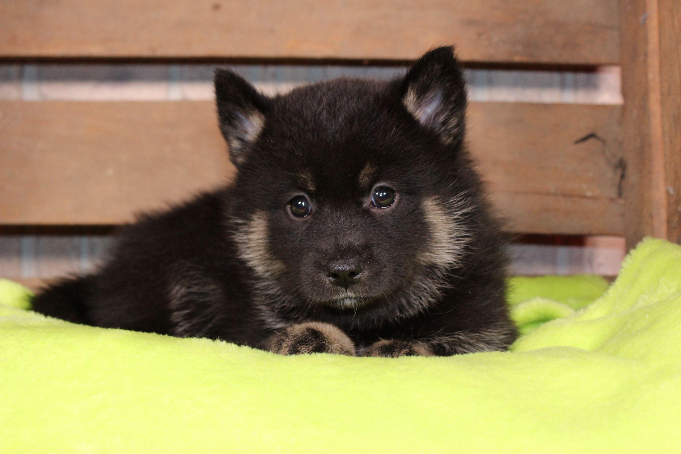 Luna A calm female CKC Pomsky Puppy for sale in Nappanee