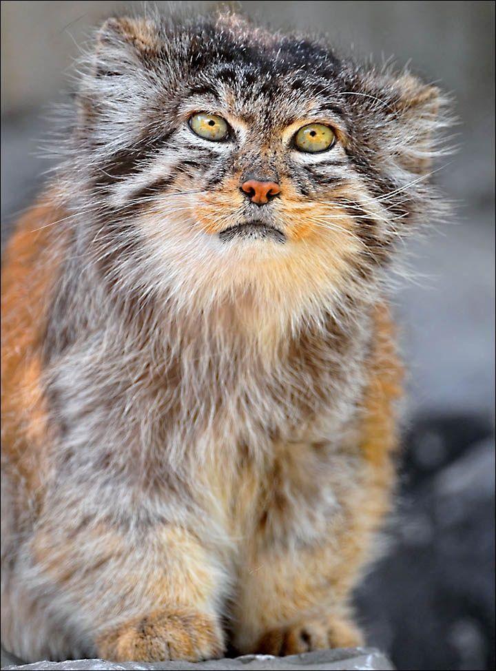 Pallas's cat Small wild cats, Manul cat, Wild cats