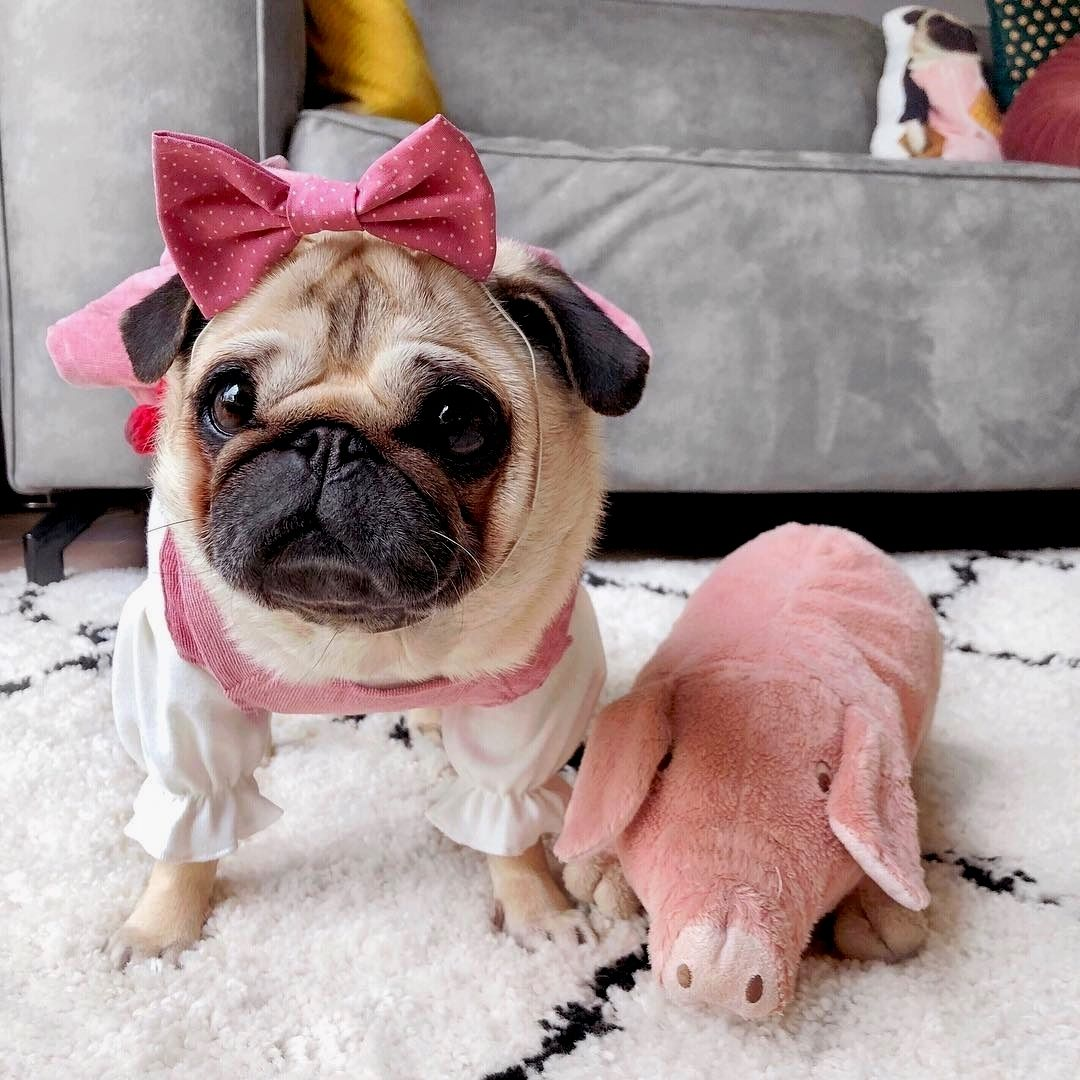 Pug Dog On Instagram It S Friday And I M Ready To Play