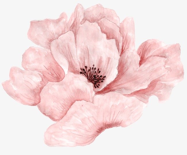 Beautiful Pink Flowers In Full Bloom Flowers Plant Watercolor Flowers Png Transparent Image And Clipart For Free Download Flower Painting Poppy Flower Painting Pink Flower Painting