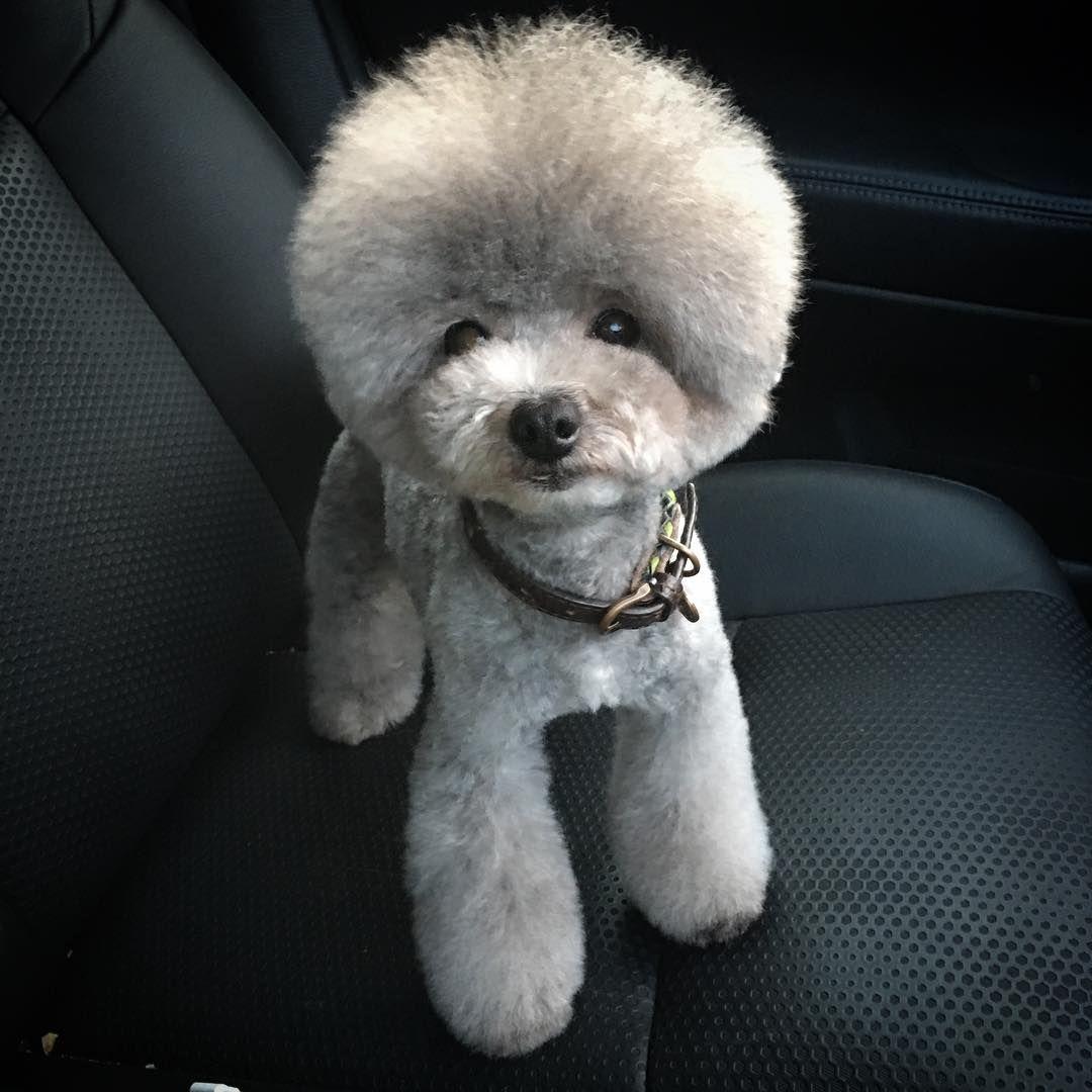 君の名は ゚d゚ のモサモサは ヴェイロン 毛玉が出来にくいのをいいことに2ヶ月半の間ブラッシングすらせず放置 毎度のこと アフロ育った 可愛い Silverpoodle Dog アフロ トリミング よりこころ 三重県 津市 ト 犬のグルーミングスタイル 犬の