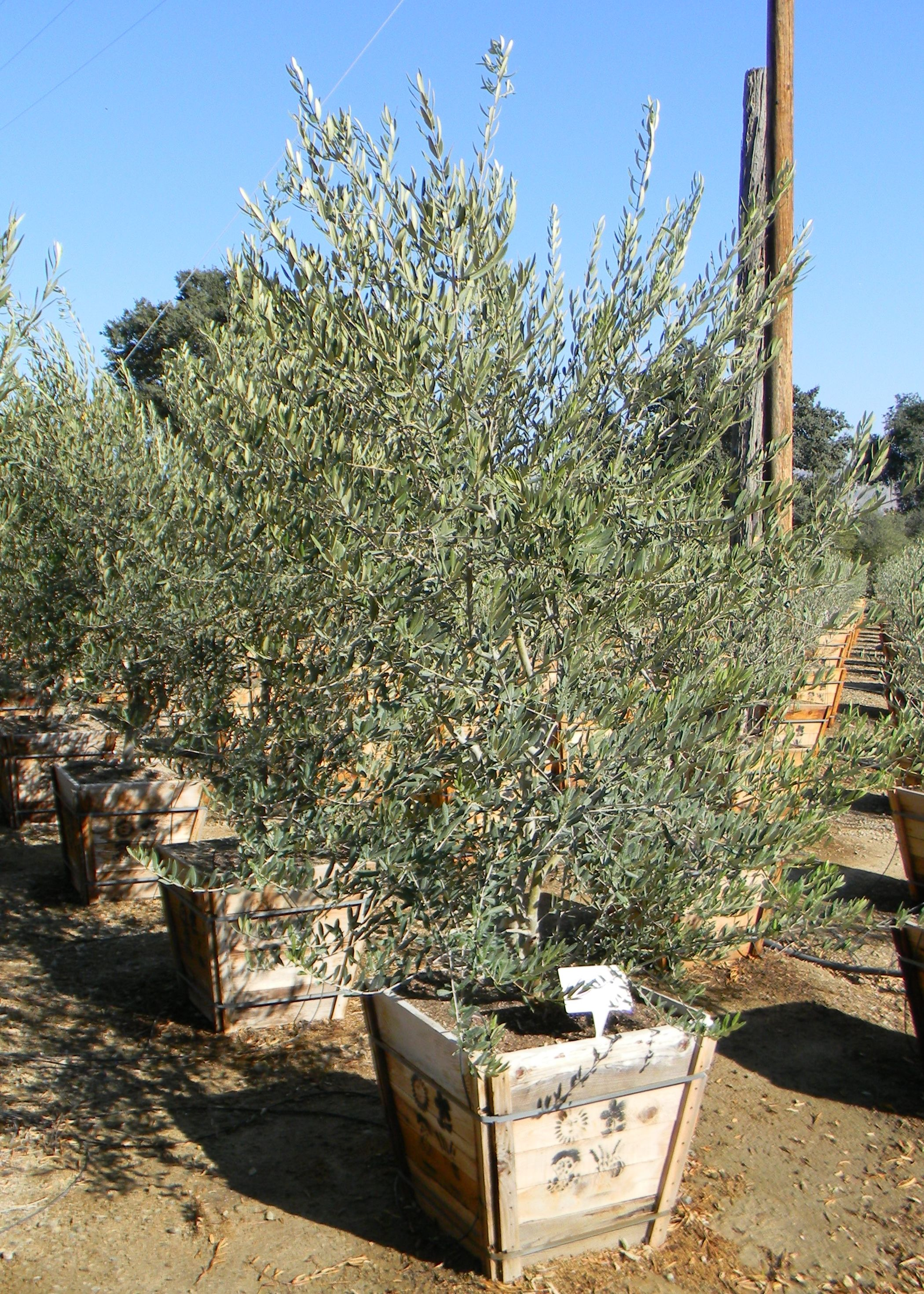 Wilsonii Ponto 24 Box Multi Trunk 100 Fruitless Variety Roved By Las Vegaaricopa County Az For Planting