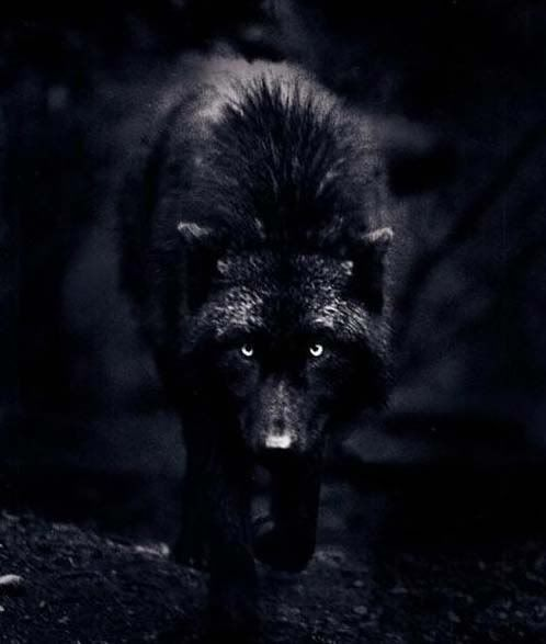 Black Wolves Black Wolf Silver Eyes Graphics Pictures Images For Myspace Black Wolf Wolf Lone Wolf