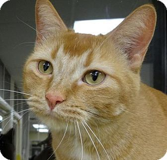 St Paul Mn Domestic Shorthair Meet Red A Cat For Adoption Http Www Adoptapet Com Pet 12667958 St Paul Minneso Cat Adoption Kitten Adoption Orange Cats