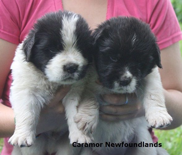 Newfoundland Dog And Puppy Breeder Located In Perth Ontario Canada Newfoundland Dog Newfoundland Puppies
