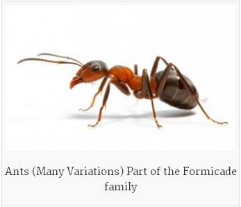 Ants Are The Most Common Pests That Invade The Residential As Well As Commercial Properties Sometimes These Ants Bec Ant Pest Control Ants Termites