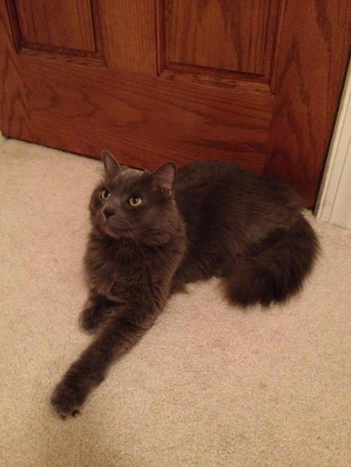 Adopt Smokey Joe Playful People Cat Adoption Pending On Petfinder Nebelung Cat Cat Adoption Cats