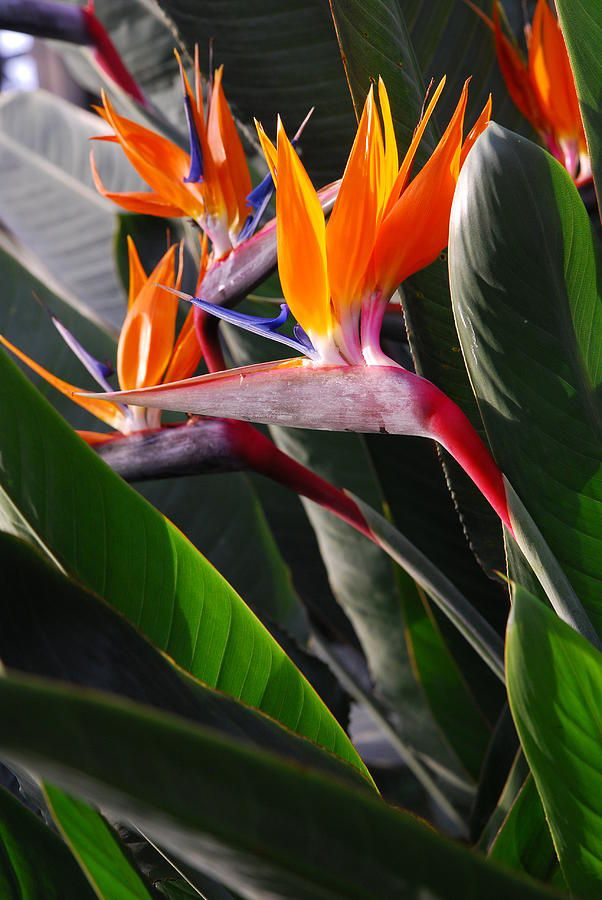 Bird Of Paradise Fiori Esotici Fiori Insoliti Fiori Astratti