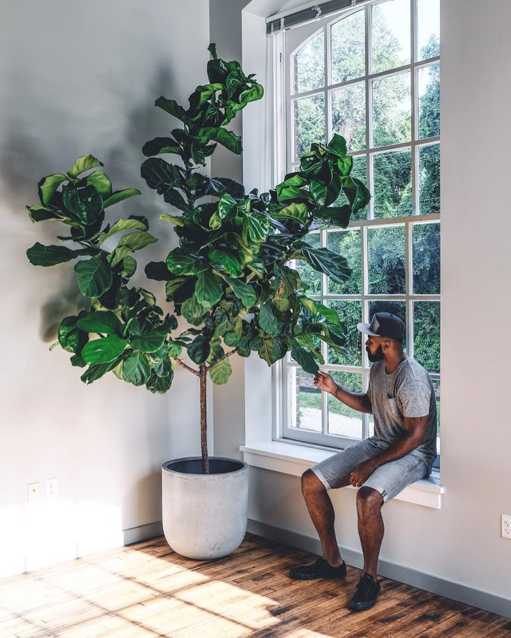 Fiddle Leaf Fig Care – Growing Guide, How To Pot Plants