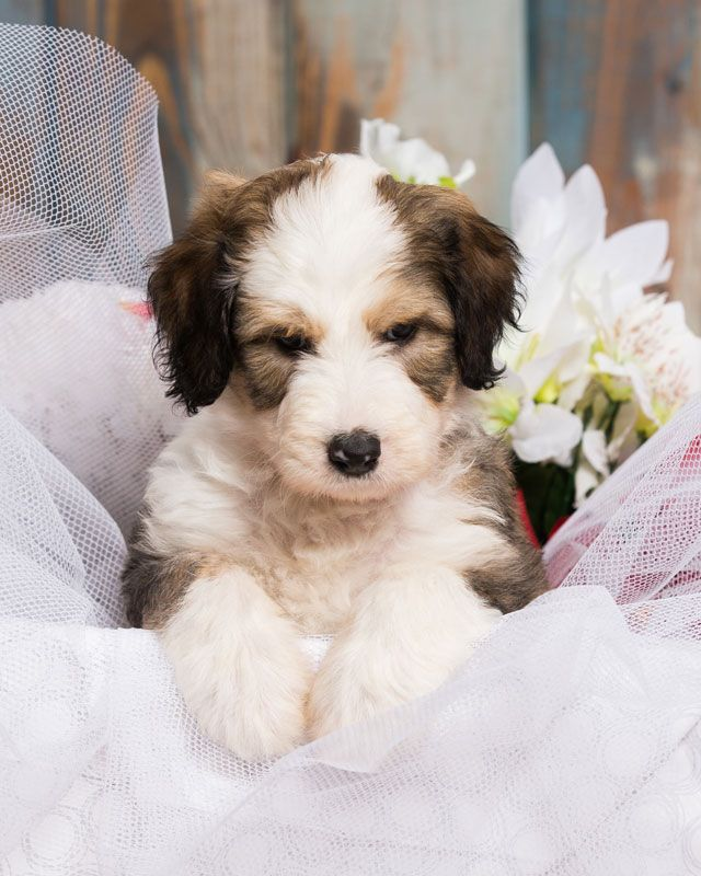 Sheepadoodle Puppy For Sale In Northern Virginia Furry Friends