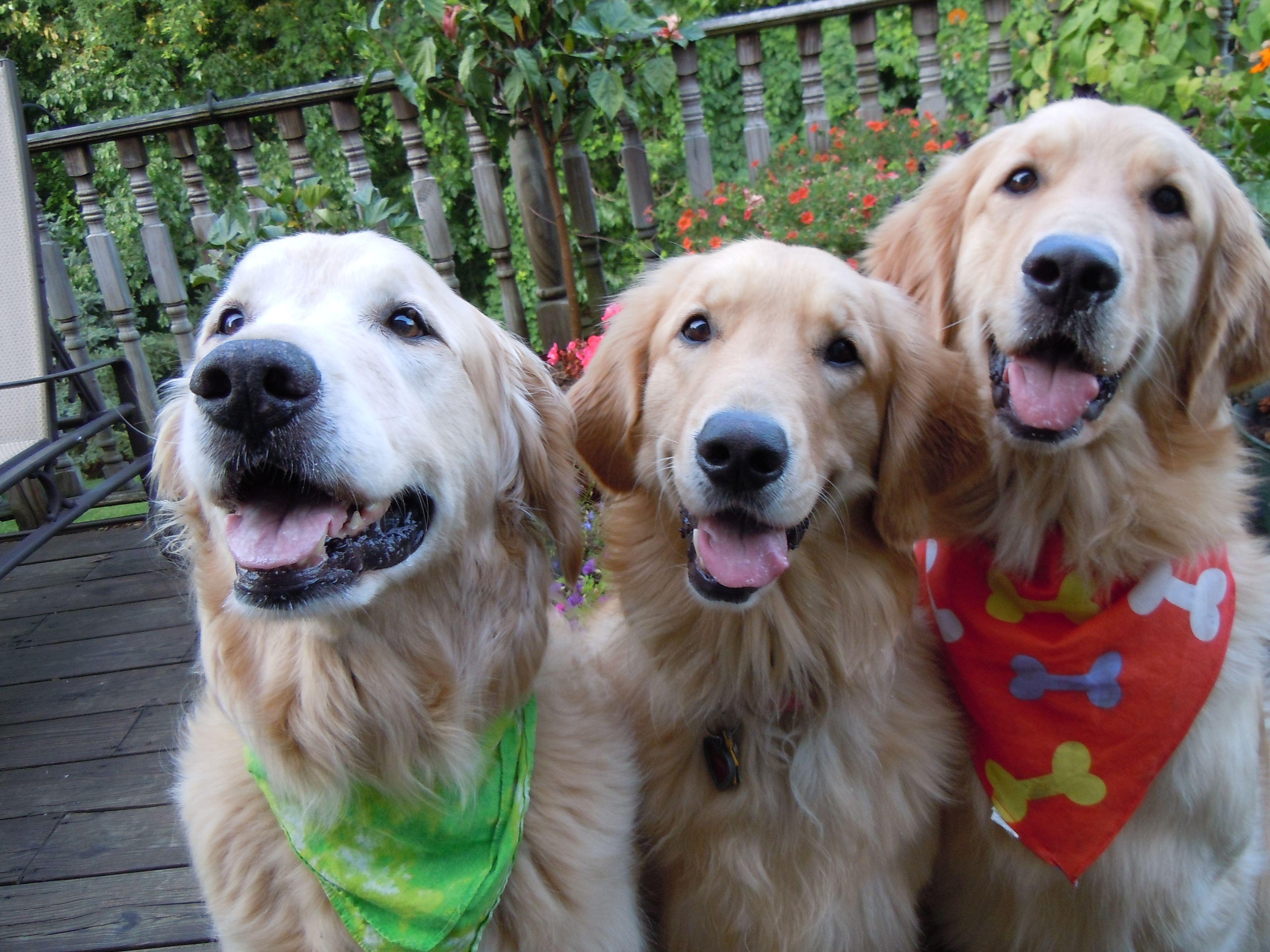 3 amigos golden retriever dog life cute animals