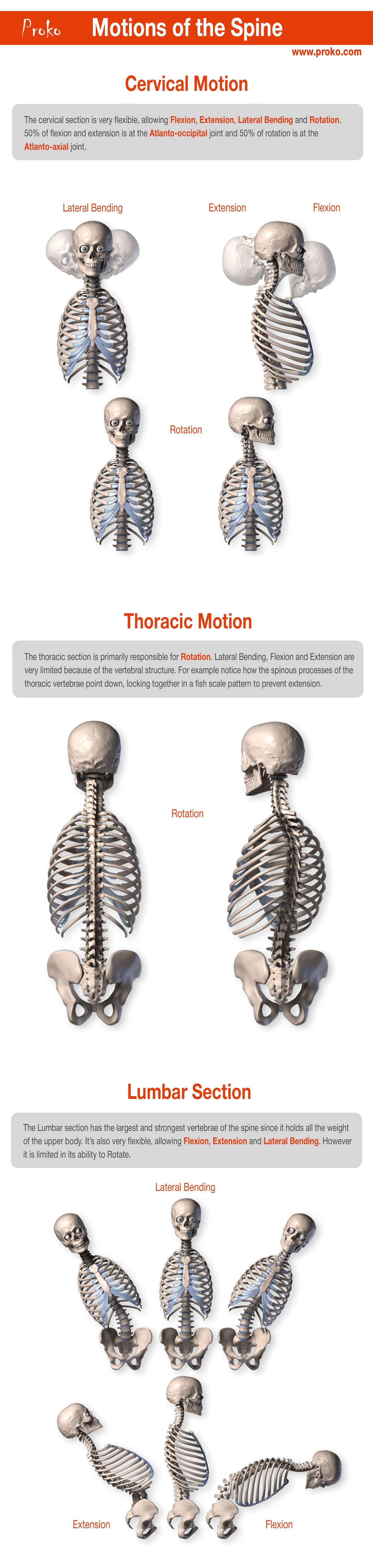 Anatomy of the Spine   Tutorials   Pinterest   Anatomy, Thoughts and ...