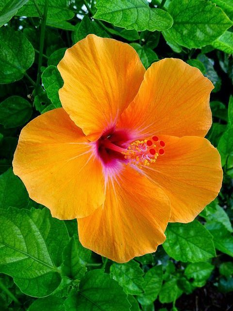 Orange Hibiscus By Hawai I Naturalist On Flickr Flowers And Gardens Beautiful Flowers Amazing Flowers Flower Seeds