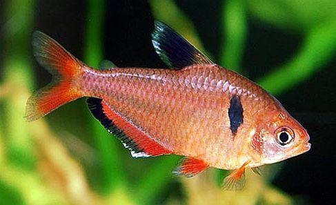 Serpae Tetra Hyphessobrycon Eques Tetra Fish Fish Fish For Sale