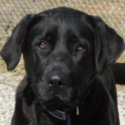 Adopt Paris On Petfinder Labrador Retriever Black Labrador Retriever Labrador Retriever Dog