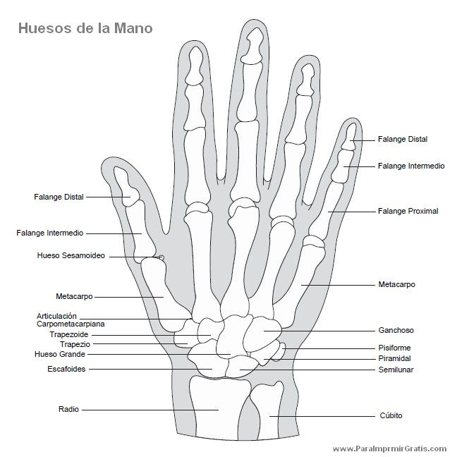 Huesos de la Mano, con sus nombres. | Med | Pinterest | Hueso de la ...