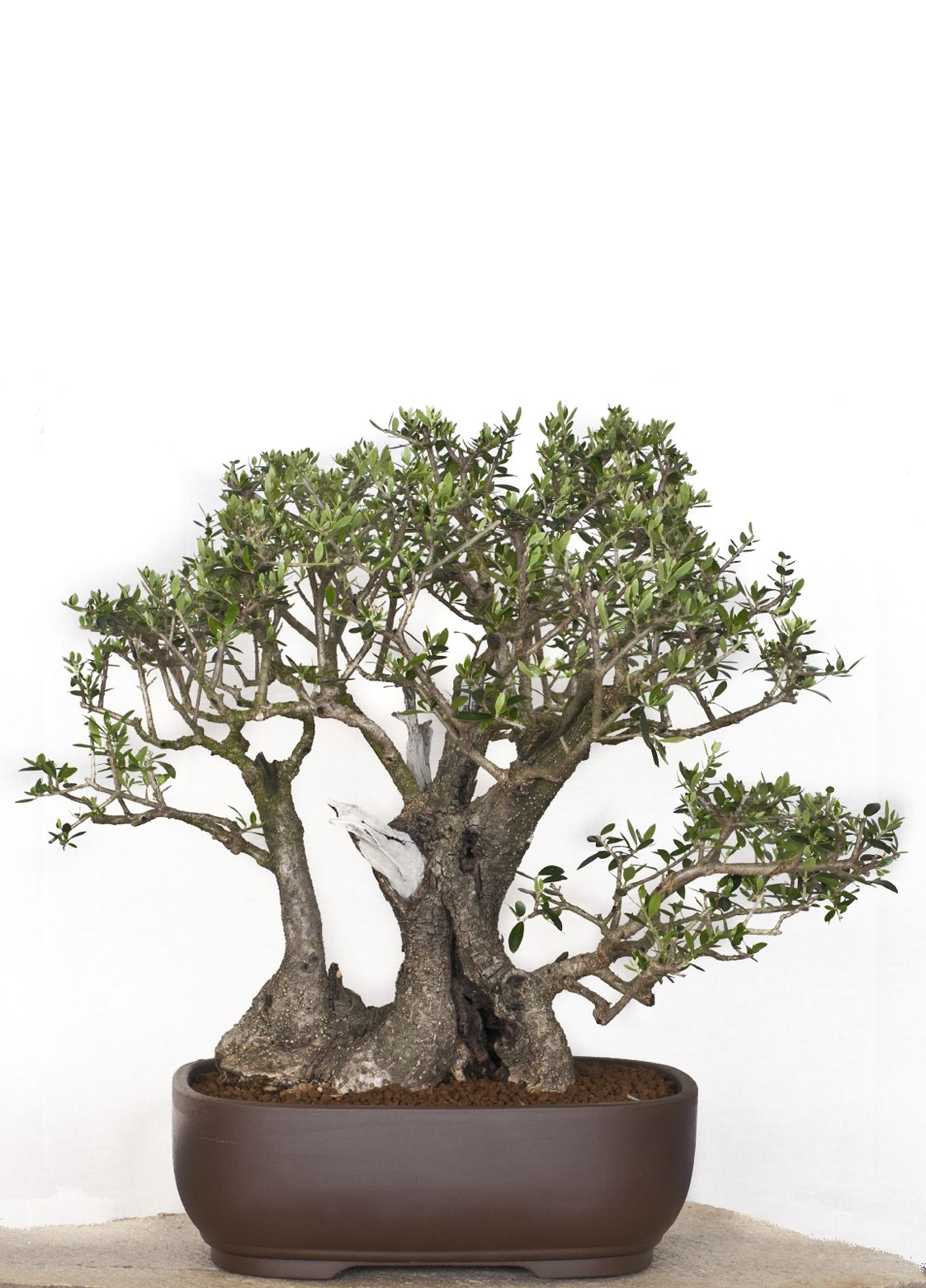 Olive bonsai olive bonsai bonsai pinterest for Bonsai hydrokultur