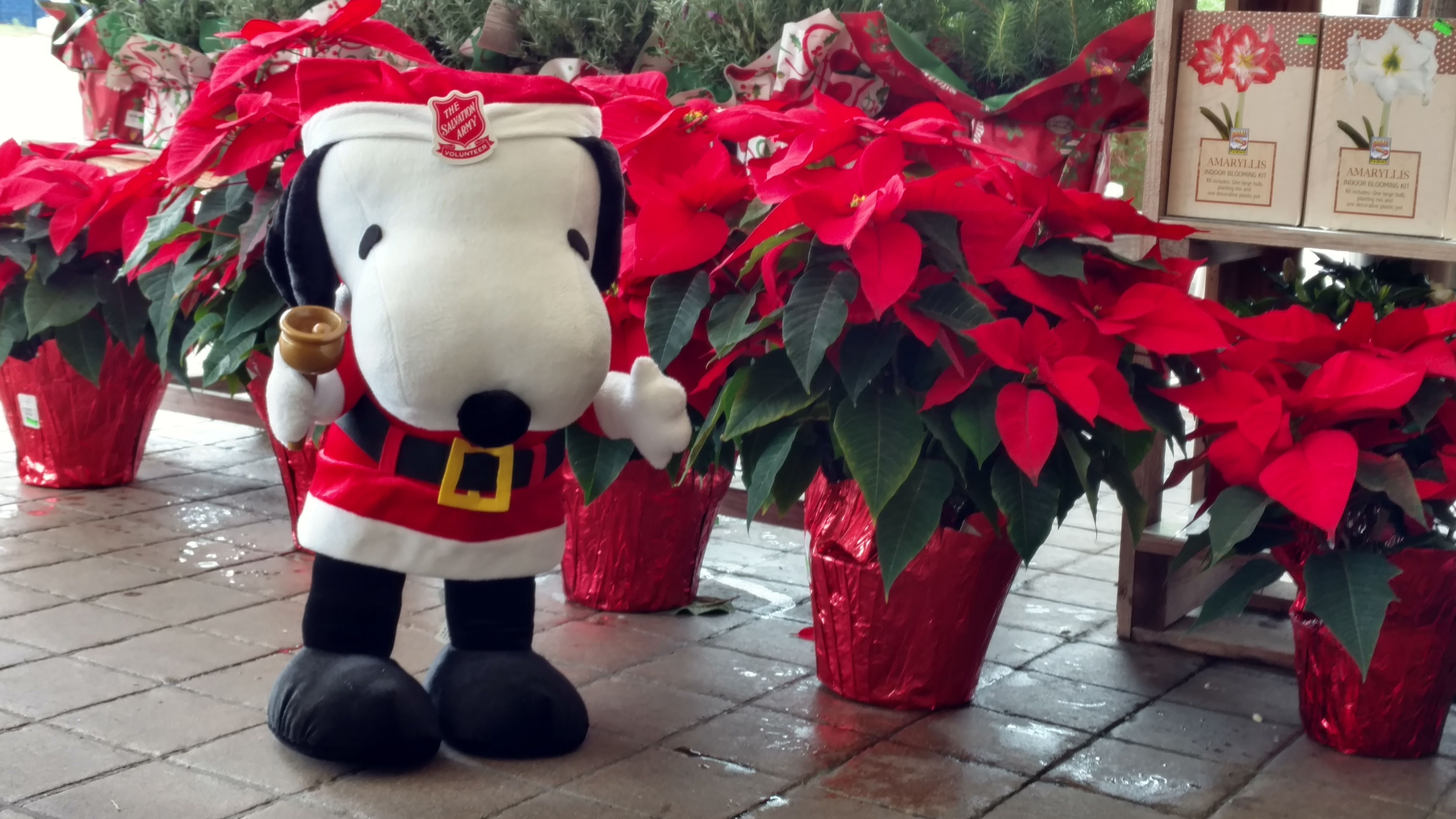 Snoopy Is Loving The Poinsettias Our Floral Dept Has To Offer Adraegersholiday Deckthehalls Deck The Halls Adra Poinsettia