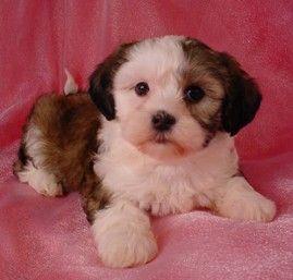 Waaaaay To Cute Shih Tzu Bichon Puppies Puppy For Sale Healthy