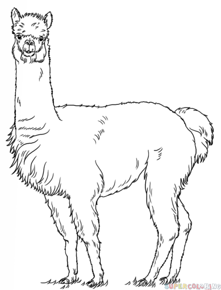 How to draw an alpaca Step by