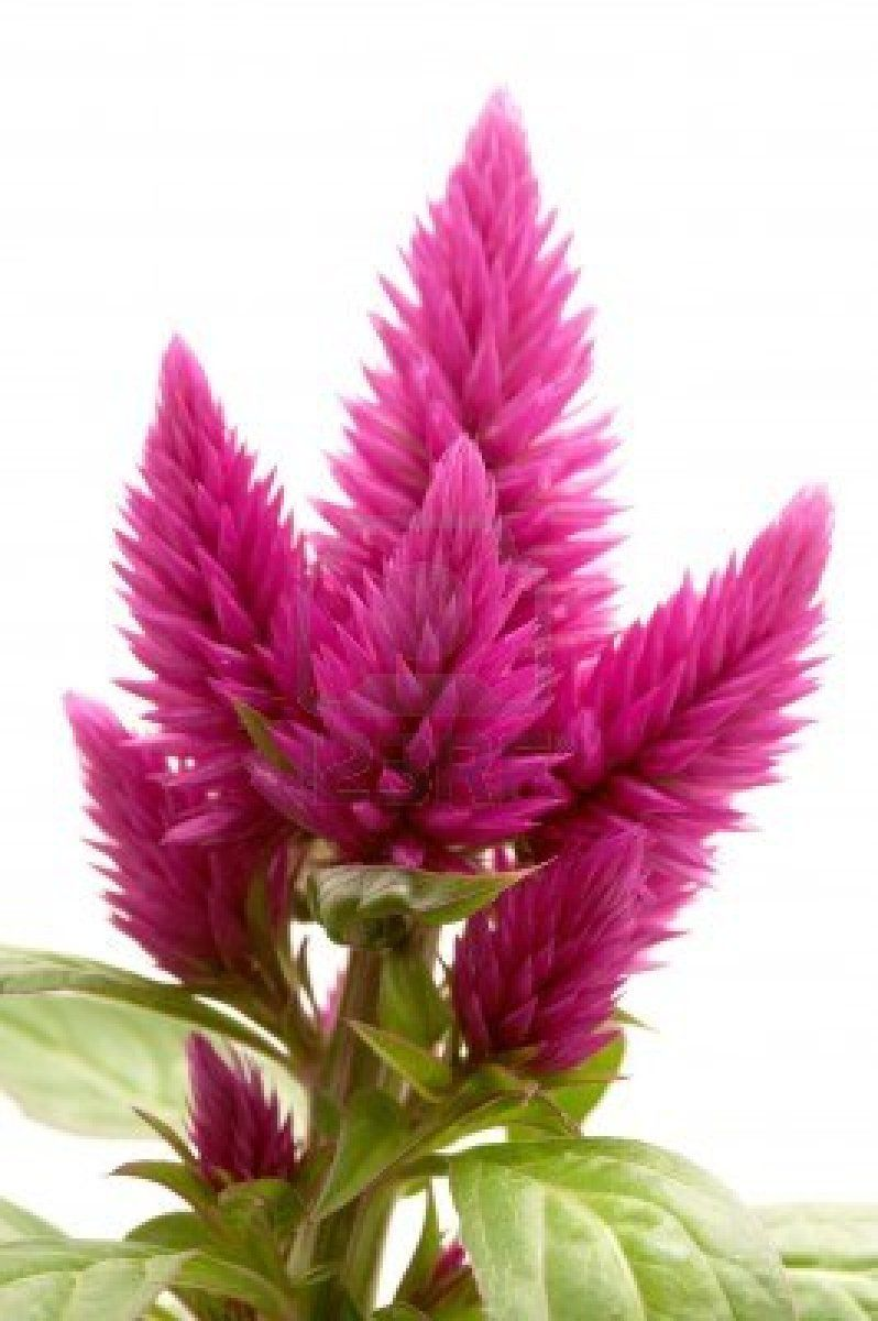 Celosia Argentea Var Venezuela On A White Background Celosia Flower Flowers Flower Patch