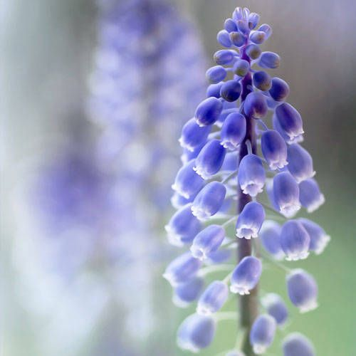 Hyacinth Flower Meaning Flower Meanings Hyacinth Plant Birth Flowers