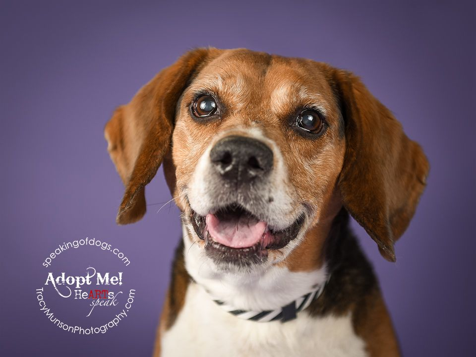 Bagle Hound Dog For Adoption In Toronto On Adn 510675 On