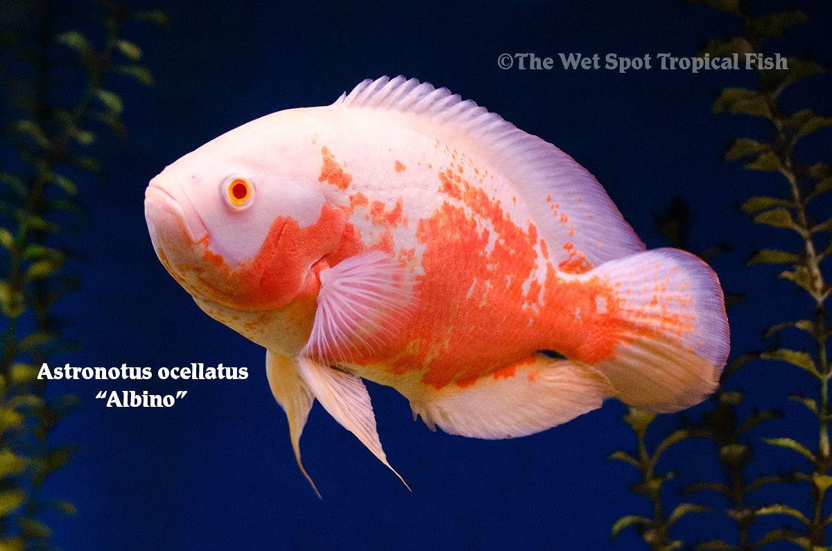 Congratulate, adult oscar fish