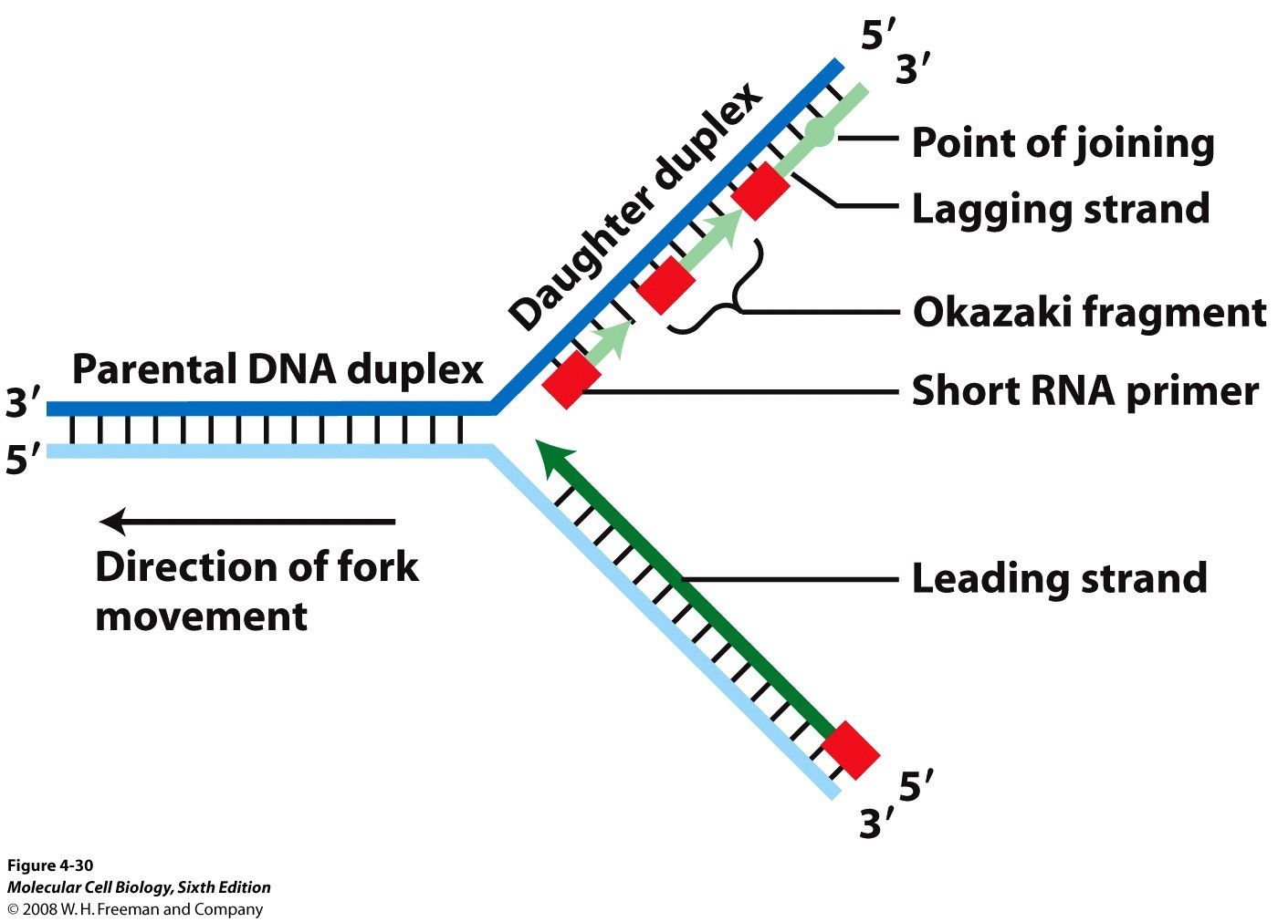 Tj Replication Fork A Site On A Dna Molecule At Which