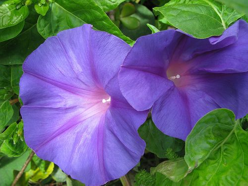 Spainish Morning Glory Playa De Pedregalejo Malaga Spain Malaga Flower Images Morning Glory