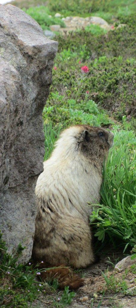 Mountain Marmot On Mt Rainier
