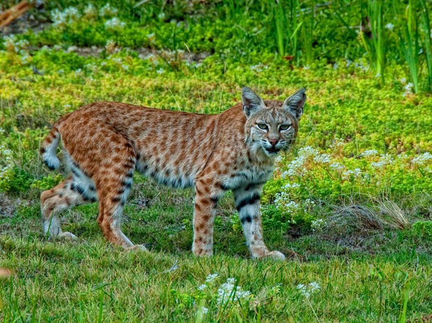 Wildlife officials ignore return of mountain lions to the