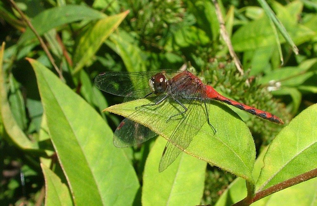 Twelvespotted Skimmer Dragonfly At Rosetta McClain