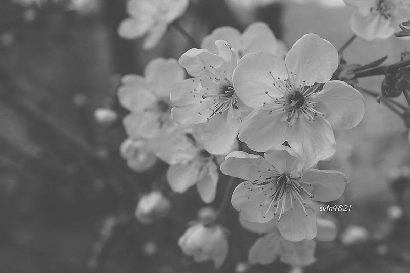 File Ag Qara Cicek Sekilleri Resimleri Photos Ordubad Svln4821 Jpg Blossom Plants