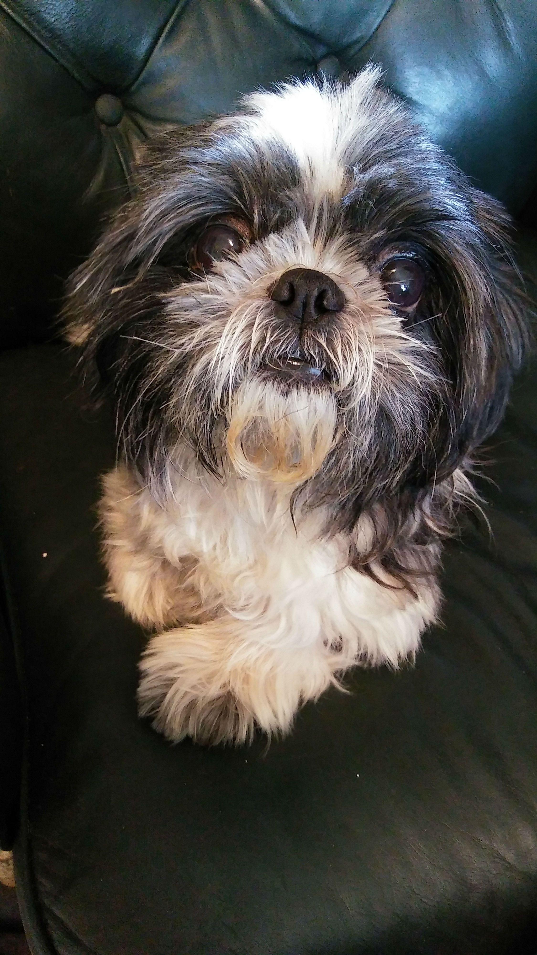 Shih Tzu Dog For Adoption In Weston Fl Adn 692046 On Puppyfinder