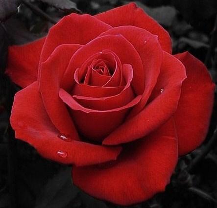 Bunga Valentine Sebagai Pesan Indah Untuk Mengungkapkan Cinta Dan Kasih Sayang Hadiah Tradisional Beautiful Flowers Pictures Beautiful Flowers Flower Pictures