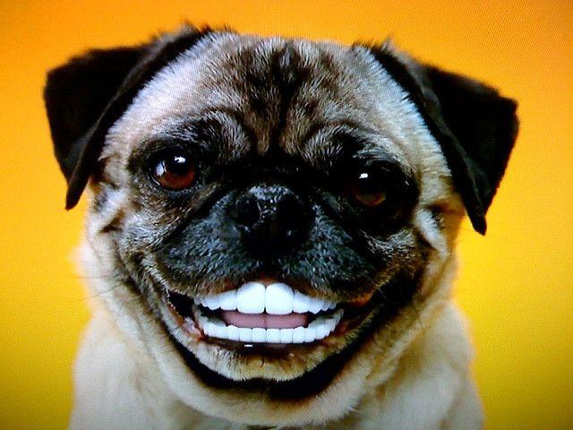 Pug With Dentures Dogs Pugs Teeth Dental Humor