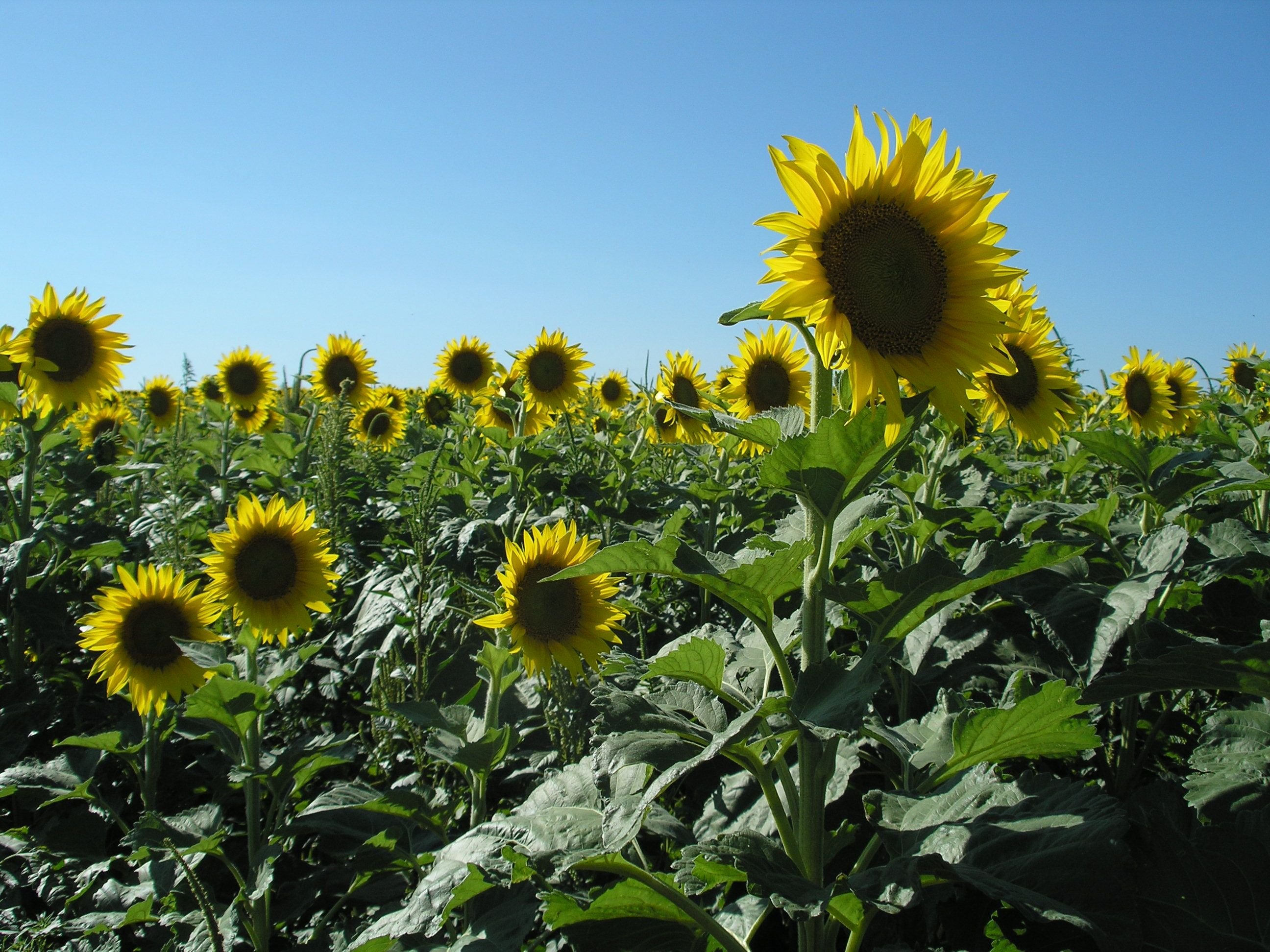 Sunflowers south of McPherson. Photo by Charlie Goolsby. #KansasBeautiful